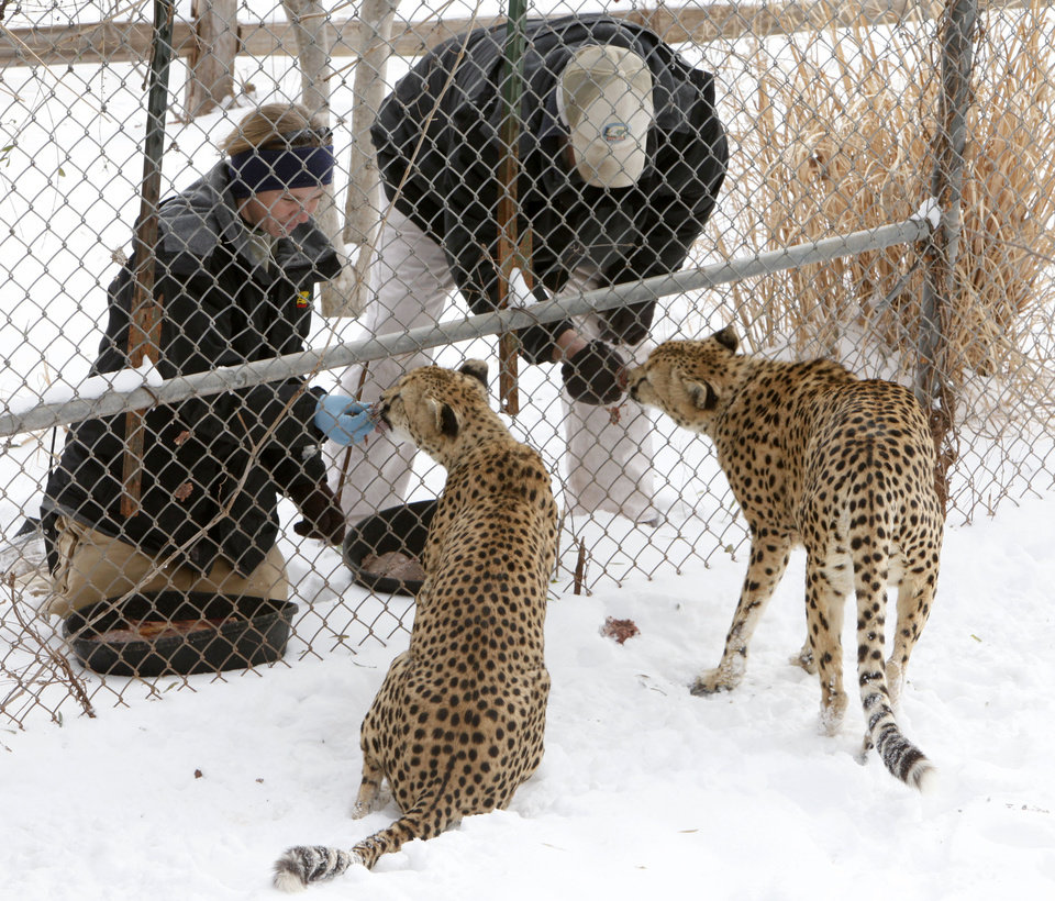 Photo - Giraffe Supervisor Jaimee Flinchbaugh and Animal Technician John McInturff feed the Cheetahs at the Oklahoma City Zoo in Oklahoma City, OK, Thursday, Feb. 3, 2011. By Paul Hellstern, The Oklahoman