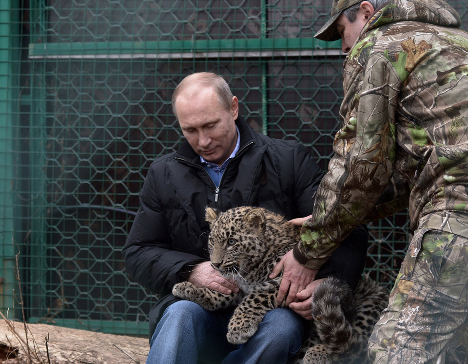 Photo - Russian President Vladimir Putin pets a snow leopard cub at the snow leopard sanctuary in the Russian Black Sea resort of Sochi, Tuesday, Feb. 4, 2014. Putin checked in Tuesday at a preserve for endangered snow leopards and visited a group of cubs born last summer in the mountains above the growing torrent of activity in Sochi for the Winter Games. (AP Photo/RIA-Novosti, Alexei Nikolsky, Presidential Press Service)