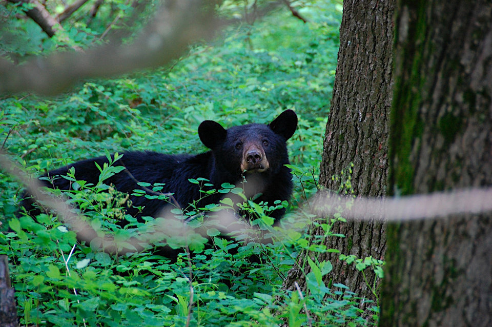 Photo - This photo released by Rob Woodward shows a curious bear lurks in lush greenery by the Elkwallow campground and picnic area at milepost 24 on Skyline Drive, May 30, 2009. Hikers using trails in this part of Shenandoah National Park often see black bears. (AP Photo/Rob Woodward)**NO SALES** ORG XMIT: NY423