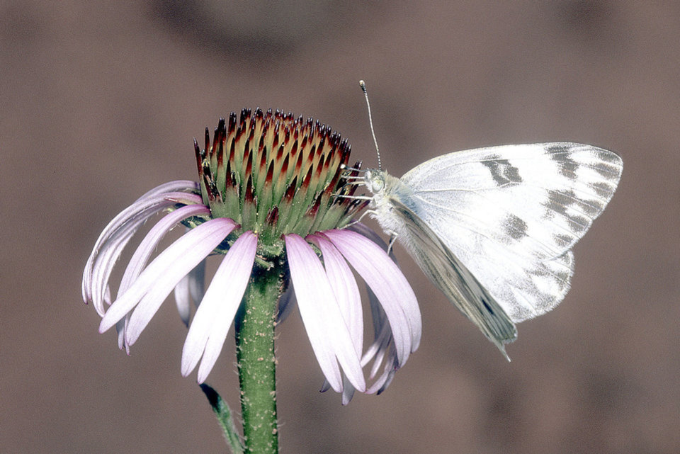 The Checkered White, Pontia protodice, can be found throughout our state and is attracted to gardens. This one is gathering nectar from a purple coneflower. <strong>Bryan E. Reynolds</strong>