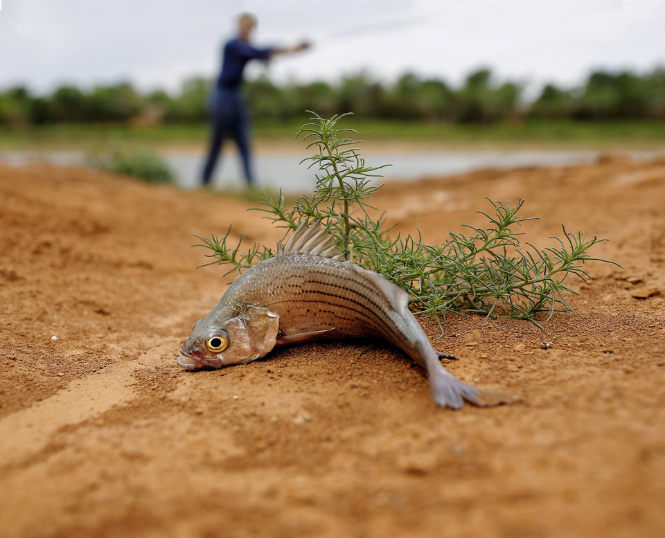 Photo - A fish caught by Joe Myers lies in the reddish silt that until recent years was the bottom of Canton Lake. Myers, in background, says the water depth where he is standing should be between 8 and 10 feet when the lake is at its normal levels. A sustained drought combined with the release of millions of gallons of water downstream to Oklahoma City in 2013 has caused large sections of the lake to dry up and has extended the lake's shoreline by hundreds of feet.  This image of Myers fishing in a shallow area Canton Lake  was taken on Wednesday, May 21, 2014.   Photo by Jim Beckel, The Oklahoman
