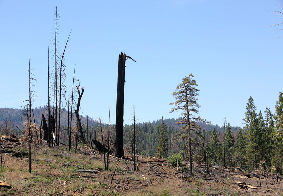 Photo - In this Friday, July 25, 2014 photo, the remains of trees destroyed by 2013's Rim Fire, stand near Groveland, Calif.  Nearly a year after the Rim Fire charred thousands of acres of forest in California's High Sierra, a debate rages over what to do with the dead trees, salvage the timber to pay for forest replanting and restoration or let nature take its course. Environmentalist say that the burned trees and new growth beneath them create vital habitat for dwindling bird such as spotted owls, and black-backed woodpeckers and other wildlife. (AP Photo/Rich Pedroncelli)