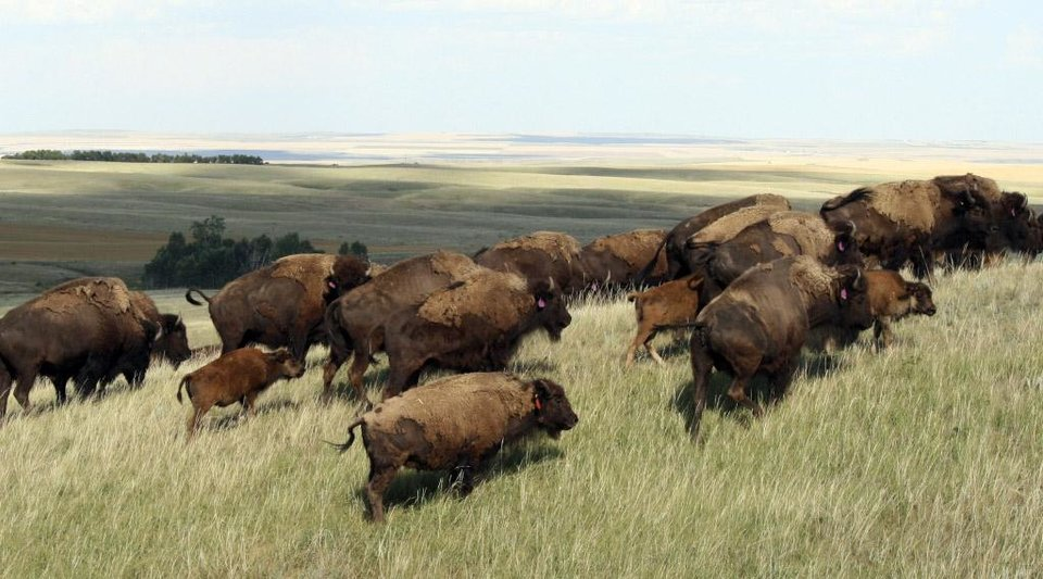 Photo - This undated photo provided by the Defenders of wildlife shows bison roaming over a large area on the Fort Belknap Indian Reservation in north central Montana. The bison were moved there beginning in 2012 as part of a pilot project. Members of the Blackfoot Confederacy of tribes in Montana and Canada have told Montana legislators they'd like to bring bison to their land just east of the Northern Rockies. (AP Photo/Defenders of Wildlife)