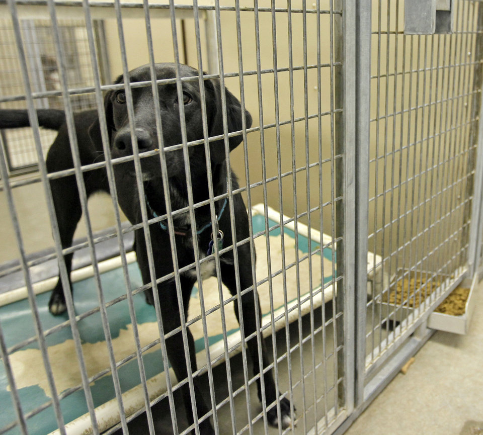 Photo - Zan (A101118), a female labrador retriever mix, waits to be adopted at the Oklahoma City Animal Shelter this month.  NATE BILLINGS - The Oklahoman