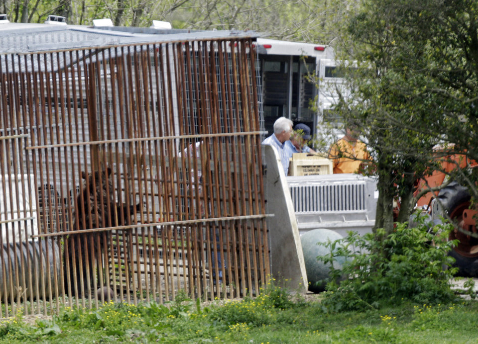 Photo -   A bear explores its cage on the farm of Marian Thompson near Zanesville, Ohio after it and four other exotics were released to Thompson by the Columbus Zoo Friday, May 4, 2012. The Columbus Zoo returned five exotic animals to Thompson, the survivors of 56 animals her late Terry Thompson, released from the eastern Ohio farm Oct. 18, 2011, before he committed suicide. Fearing for the public's safety, authorities killed 48 of the animals. (AP Photo/Mark Duncan)