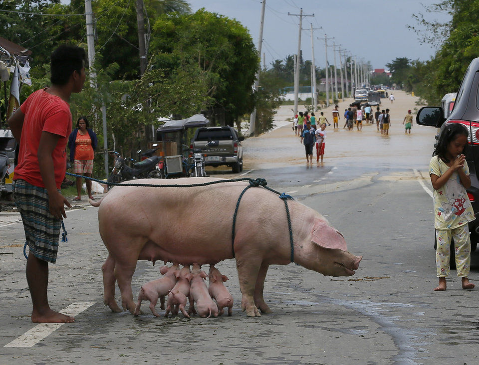 Photo - A sow nurses her piglets after being evacuated to safety following the flooding  brought about by Typhoon Koppu at Zaragosa township, Nueva Ecija province, north of Manila, Philippines Monday, Oct. 19, 2015. Slow-moving Typhoon Koppu blew ashore with fierce wind in the northeastern Philippines early Sunday, toppling trees and knocking out power and communications and forcing the evacuation of thousands of villagers.(AP Photo/Bullit Marquez)