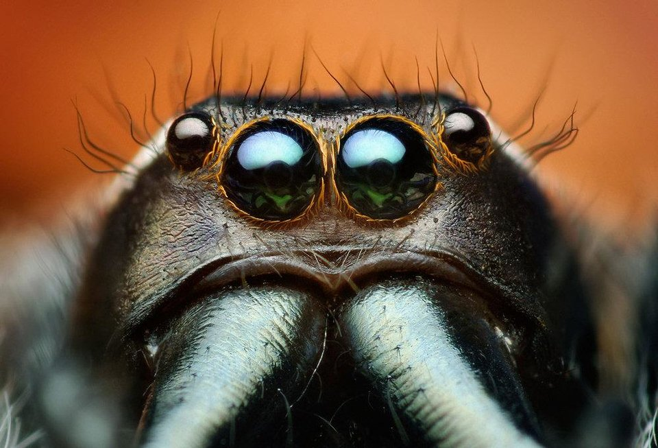 A macrophotograph of Paraphidippus aurantius, a male jumping spider, is part of the �Beautiful Beasts: The Unseen Life of Oklahoma Spiders and Insects� exhibit at the Sam Noble Oklahoma Museum of Natural History. Photos provided