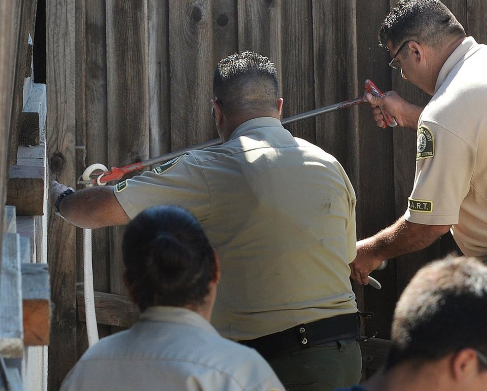 Photo - Lt. Fred Agoopi, right, from the Los Angeles County Animal Care & Control, captures a venomous albino monocled cobra in Thousand Oaks, Calif., Thursday, Sept. 4, 2014. The snake was discovered missing on Monday in the 1300 block of Rancho Lane and now found behind a wood shed on Rancho Rd. (AP Photo/Ventura County Star, Chuck Kirman)