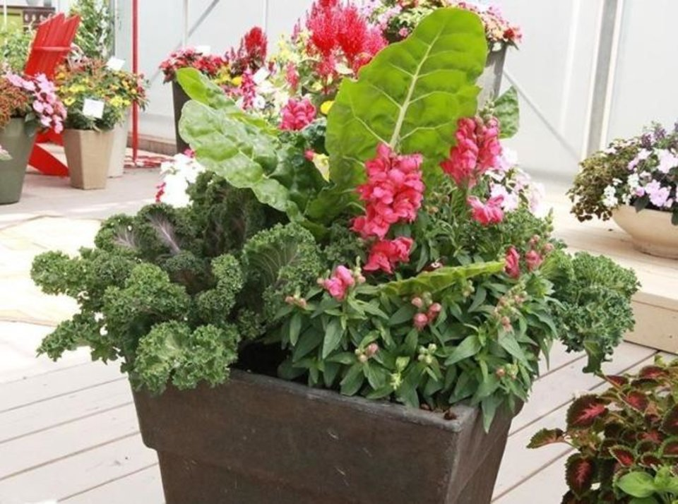 Photo -  Edible landscaping of snapdragons and kale in a container garden. [National Garden Bureau]