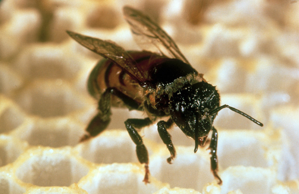Photo - This is a close up of an Africanized bee, or