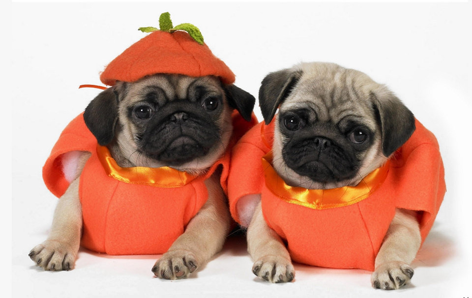 Photo -  Photo via http://wallpaperscraft.com/download/pugs_dogs_puppies_costumes_55923/1900x1200