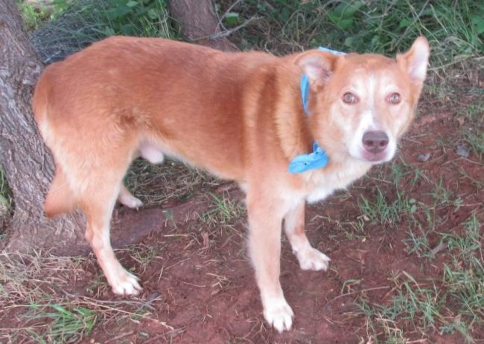 Photo -  Dustin is housebroken and crate-trained. He's a fluffy and friendly 7-year-old, 60-pound golden retriever mix. If you have treats, Dustin is motivated to learn anything. He likes to romp and run, and he's a good playmate with other dogs. Dustin's number at the Oklahoma City Animal Shelter is 308445, and his adoption fee is $30. All pets are spayed and neutered, have a microchip, and have had age-appropriate shots and a health check. The shelter is open from noon to 5:30 p.m. seven days a week at 2811 SE 29. For more information, go to www.okc.petfinder.com and www.okc.gov. [PHOTO PROVIDED]