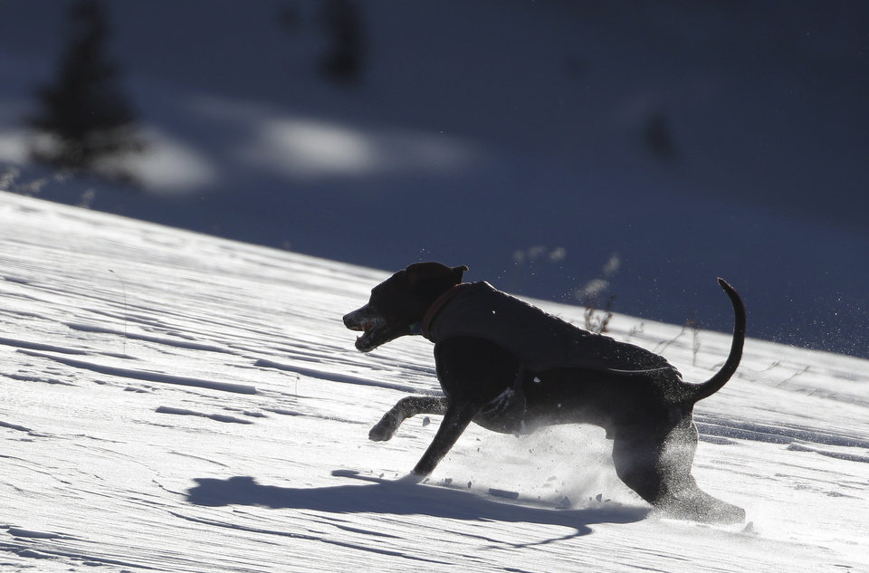 Photo - A dog owned by skiers runs through fresh snow from a storm a day earlier, on a mountainside hiked up by skiers and snowboarders, on Berthoud Pass, near Winter Park, Colo., Thursday Dec. 20, 2012. The fresh snow, with more expected before Christmas, has left much of Colorado ski-country replenished after a relatively warm and dry Fall. (AP Photo/Brennan Linsley)