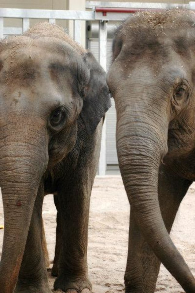 Photo - Asha is on the left, and her sister, Chandra, is on the right. They're shown here in their barn at the Oklahoma City Zoo in October 2010. <strong>Jennifer D'Agostino - PHOTO PROVIDED BY THE OKLAHOMA C</strong>