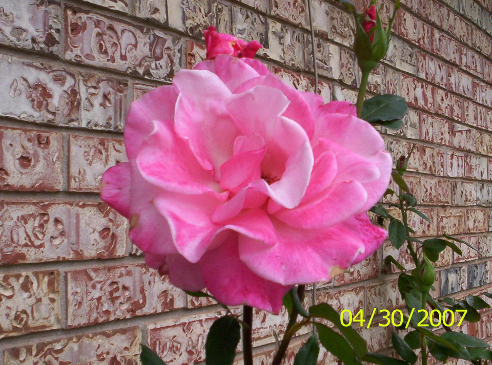 Isn't it beautiful and huge!?  A rose from one of my many bushes.<br/><b>Community Photo By:</b> Teresa Chapman<br/><b>Submitted By:</b> Teresa, Bethany