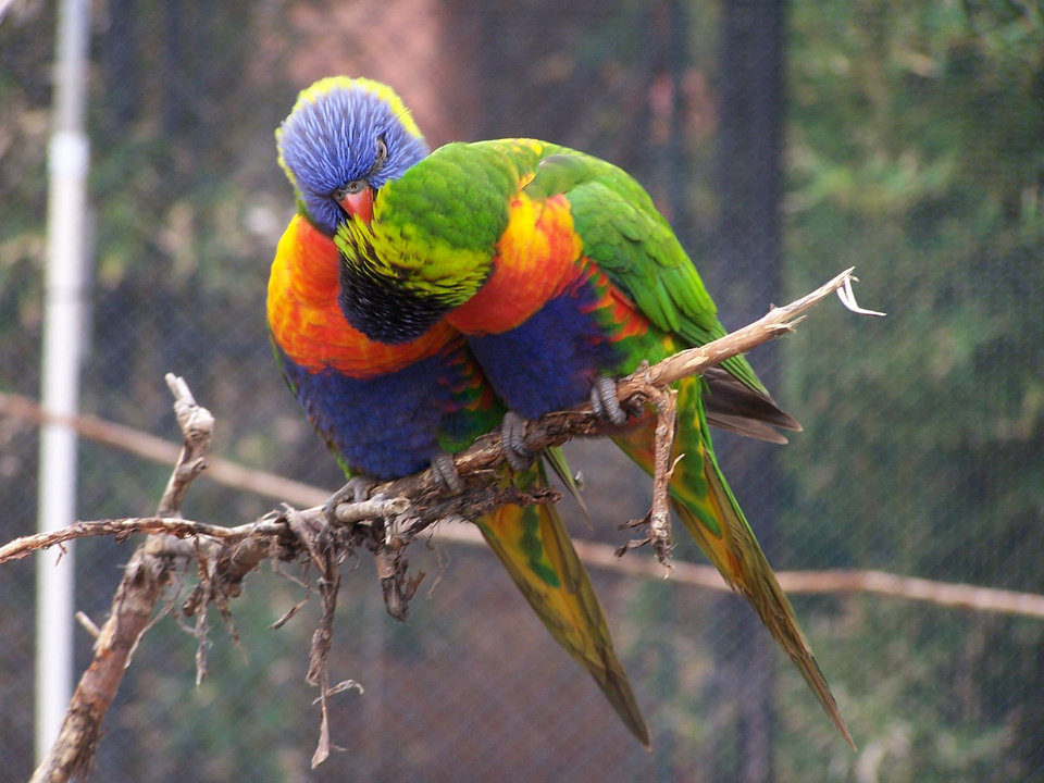 Lorikeets at Oklahoma City Zoo<br/><b>Community Photo By:</b> Cindi Tennison<br/><b>Submitted By:</b> Cindi , Bethany