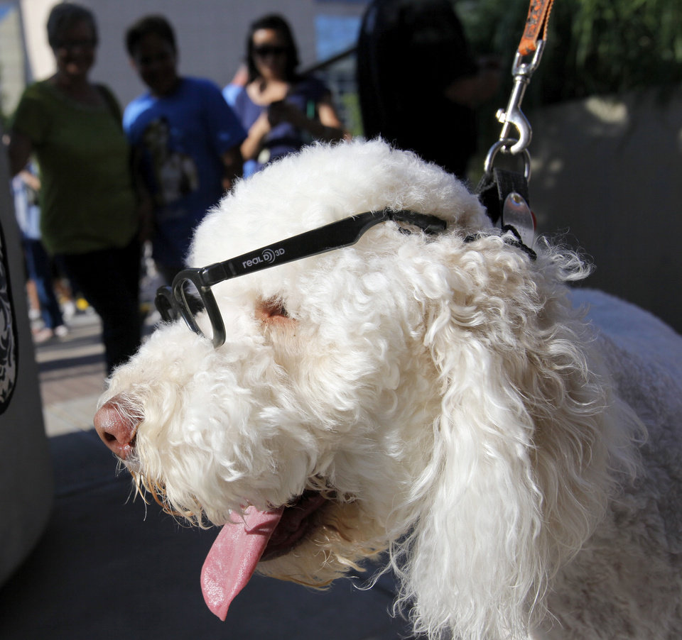 Angela Williams' Labradoodle, Ofi, wears glasses in the style of Russell Westbrook, in Thunder Alley before Game 1 of the NBA Finals between the Oklahoma City Thunder and the Miami Heat at Chesapeake Energy Arena in Oklahoma City, Tuesday, June 12, 2012. Photo by Nate Billings, The Oklahoman