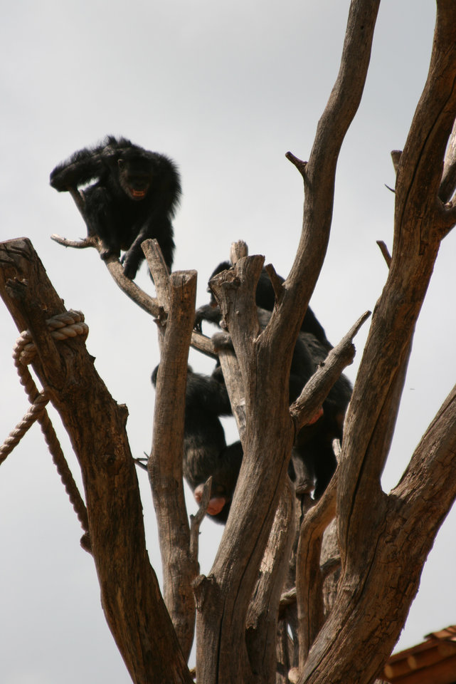 Photo - A chimp on a tree in the enclosure at the Oklahoma City Zoo is seen in this photo provided by Christel Burkard.