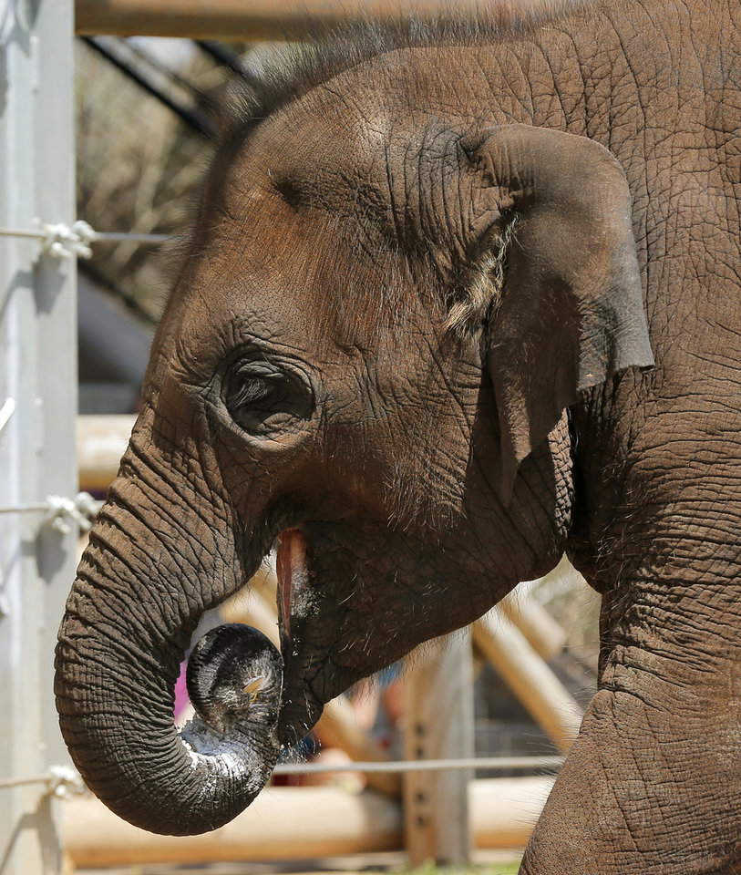 Photo -  Malee eats some of her birthday cake during a birthday party for the elephant at the Oklahoma City Zoo in Oklahoma City. The cake was whole-wheat bread with date filling and whipped cream made by Johnnie's Sweet Creations. Photo by Nate Billings, The Oklahoman   NATE BILLINGS -