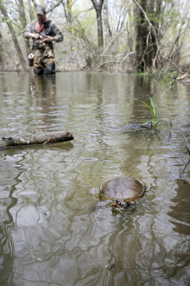 A small turtle swims in the water at Bell Slough Wildlife Management Area near Mayflower, Ark., Monday, April 8, 2013. Several turtles, some reptiles and two raccoons that had been captured and cleaned after an oil soil were released by wildlife officials Monday. (AP Photo/Danny Johnston)
