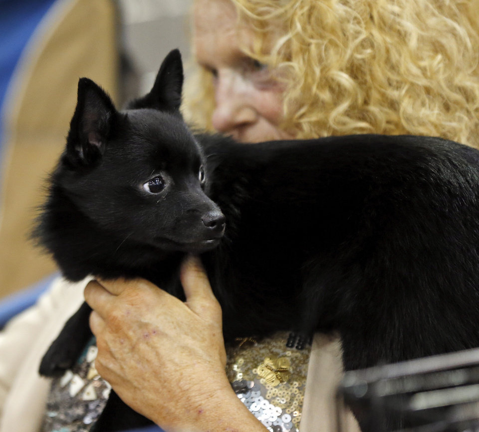 Photo -  Lola, a schipperke, sits on the shoulder of her owner and handler Marynell Vavra of Nashville, Tenn., on Wednesday during the OKC Summer Classic Dog Shows at the Cox Convention Center in downtown Oklahoma City. The dog shows continue through Sunday. Photo by Nate Billings, The Oklahoman   NATE BILLINGS -  NATE BILLINGS