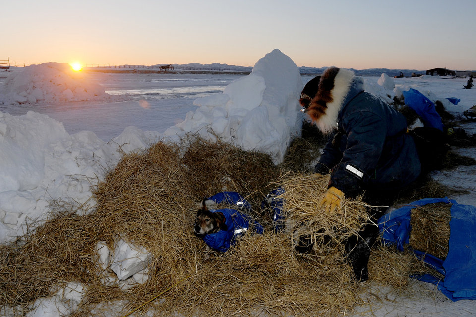 Photo - Iditarod musher Wade Marrs, from Wasilla, AK, puts straw down for his dogs at the Unalakleet checkpoint at sunrise during the 2014 Iditarod Trail Sled Dog Race on Sunday, March 9, 2014. (AP Photo/The Anchorage Daily News, Bob Hallinen)
