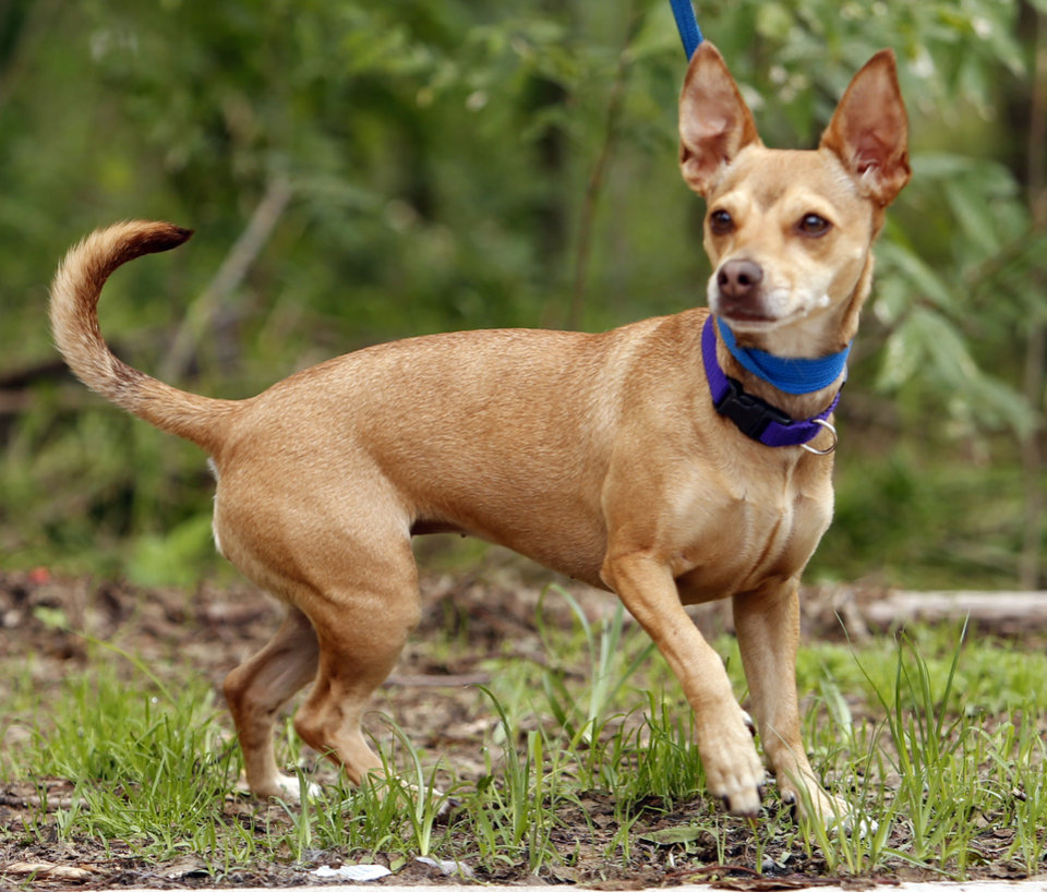 Photo - Annie is a one and a half-year-old Chihuahua mix available at Second Chance Animal Sanctuary on Wednesday, May 27, 2015, in Norman, Okla.  She is a spayed female has an identifying microchip implant, is current on shots and tests, and is available for a fee of $110.  Annie would be best in a home without small children.  Second Chance's phone number is 405-321-1915.