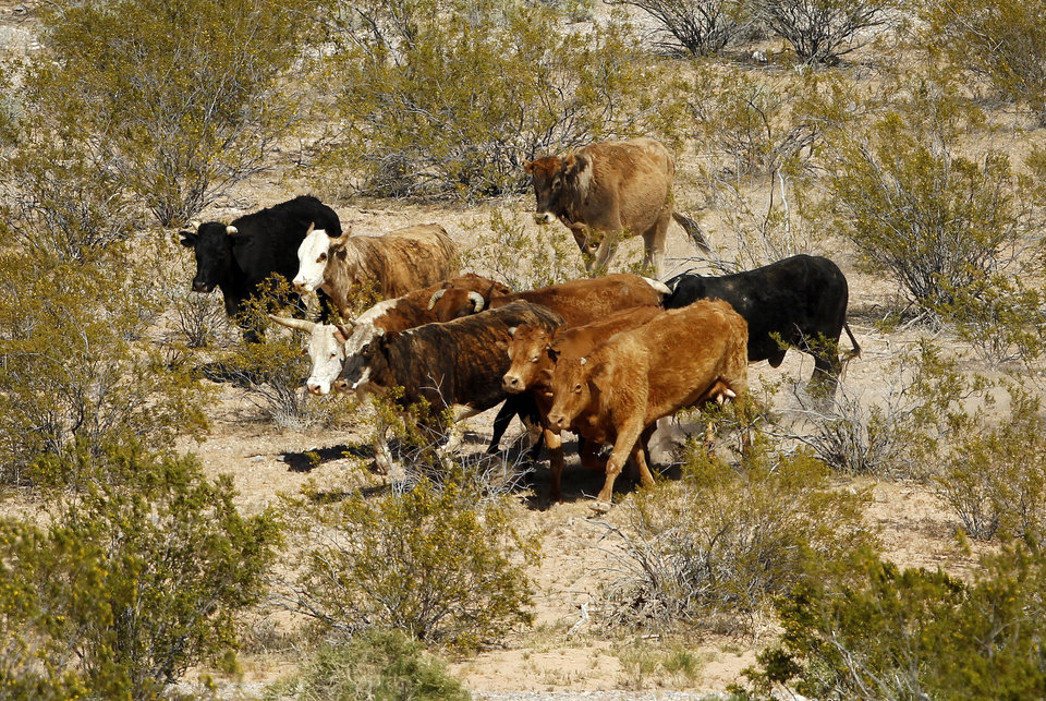 Photo - Cattle belonging to Cliven Bundy are rounded up with a helicopter near Bunkerville Nev. Monday, April 7, 2014. The Bureau of Land Management has begun to round up what they call