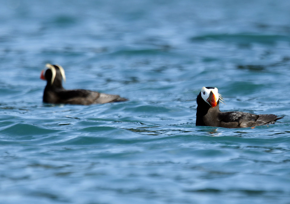 Photo - Puffins swim in the waters near the Inian Islands in Southeast Alaska, Wednesday, June 6, 2012.  Photo by Sarah Phipps, The Oklahoman