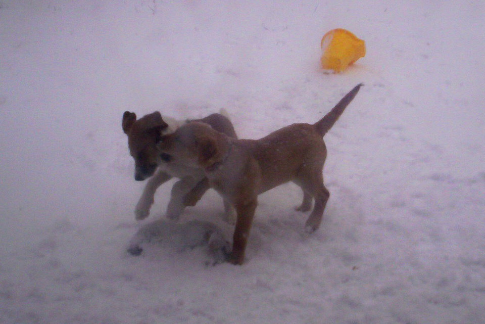 Snickers and her sister Hershey playing in the snow!<br/><b>Community Photo By:</b> Leah Albright<br/><b>Submitted By:</b> Leah, Midwest City