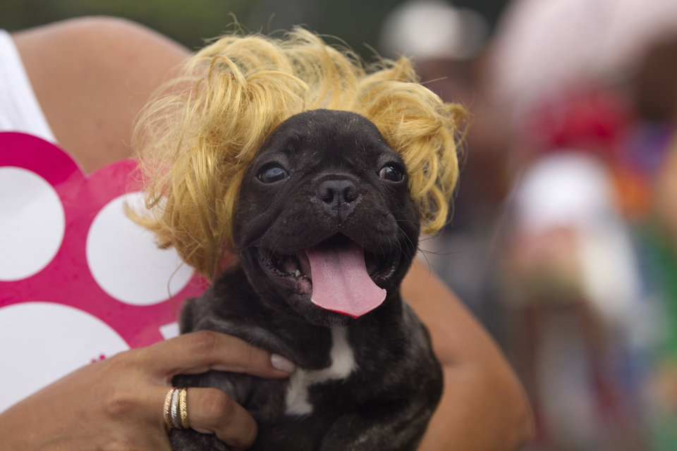 """A dog wears a blonde wig during the """"Blocao"""" dog carnival parade in Rio de Janeiro, Brazil, Sunday, Feb. 3, 2013. According to Rio's tourism office, Rio's street Carnival this year will consist of 492 block parties, attended by an estimated five million Carnival enthusiasts. (AP Photo/Silvia Izquierdo)"""