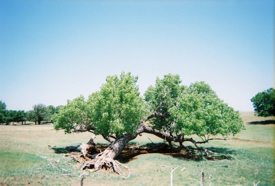 Photo of a tree near my Dad's farm near May, Ok. Blown over but still hanging on. Kinda like Oklahomans. Photo by Ric Leist