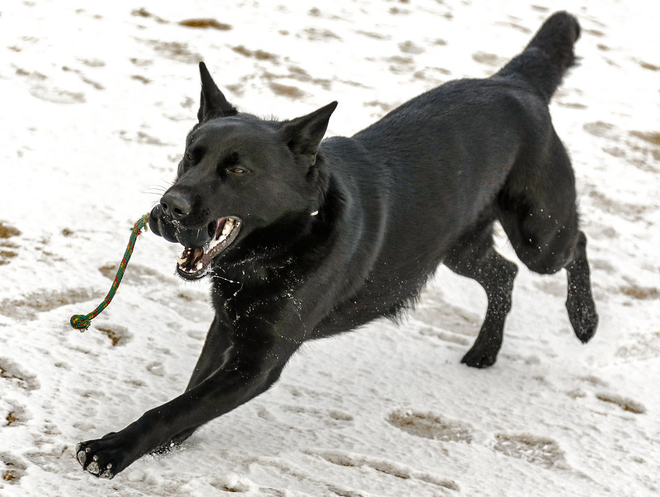 Photo - Oklahoma City police K-9 Kye is shown in February during a demonstration on training involved for police dogs. Kye died Monday after a stabbing attack Sunday. Photo by  Chris Landsberger,  The Oklahoman Archives