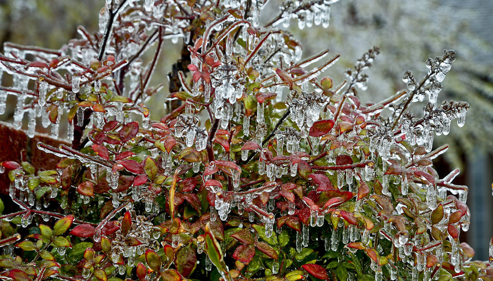 Photo - Ice covers the leaves of a tree on Wednesday, April 10, 2013, in Oklahoma City, Okla.  Photo by Chris Landsberger, The Oklahoman