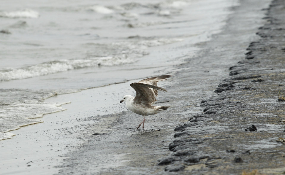Photo - A seagull lands in heavy crude oil washing up on East Beach in Galveston, Texas on Sunday March 23, 2014. More than 160,000 gallons of the oil have leaked into the bay after a barge, carrying about 924,000 gallons of heavy crude oil, collided with a ship Saturday near the Texas City Dike. (AP Photo/The Daily News, Jennifer Reynolds)