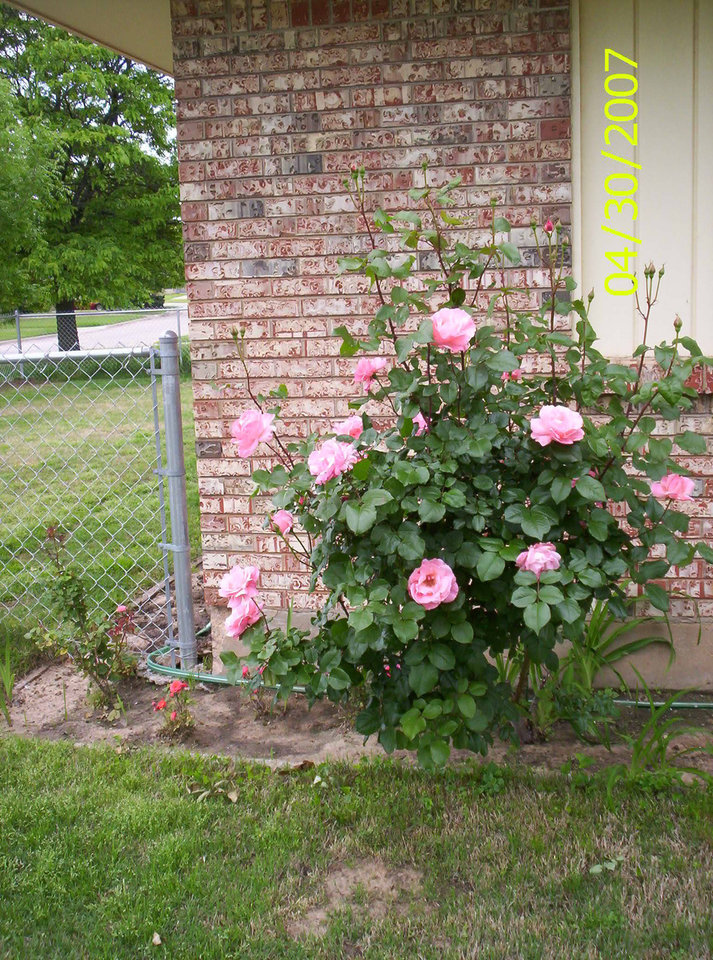One of my rose bushes just loaded! Community Photo By: Teresa Chapman Submitted By: Teresa, Bethany