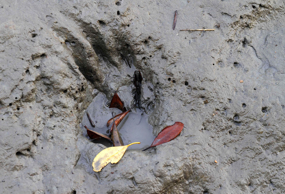 Photo - FILE - In this Thursday, March 4, 2010 file photo, a pug mark of what forest officials claimed a tiger is seen stamped on mud during a survey on tiger population at the Sunderban delta, about 130 kilometers (81 miles) south of Calcutta, India. An Indian fisherman says a tiger has snatched a man off a fishing boat and dragged him away into a mangrove swamp. (AP Photo, File)