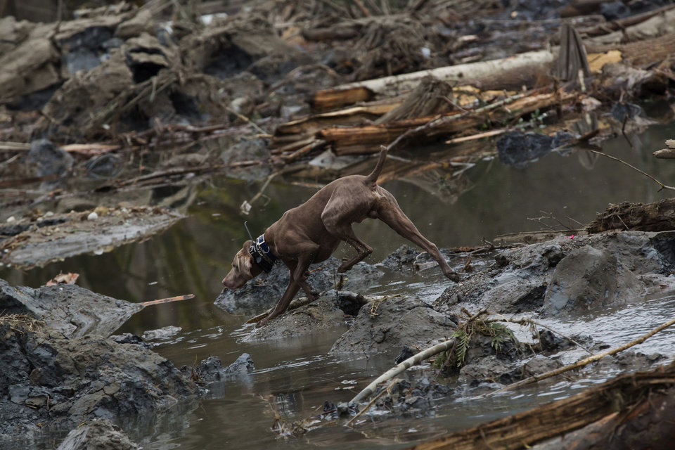 Photo - A search dog roams and sniffs through the debris field caused by a massive mudslide on Saturday, above the North Fork of the Stillaguamish River onto Highway 530, as recovery efforts continue near Oso, Wash., on Tuesday, March 25, 2014. A scientist working for the government had warned 15 years ago about the potential for a catastrophic landslide in the community where the collapse of a rain-soaked hillside over the weekend killed at least 14 people and left scores missing. (AP Photo/The Seattle Times, Marcus Yam) SEATTLE OUT; USA TODAY OUT; MAGS OUT; TELEVISION OUT; NO SALES; MANDATORY CREDIT TO BOTH THE SEATTLE TIMES AND THE PHOTOGRAPHER