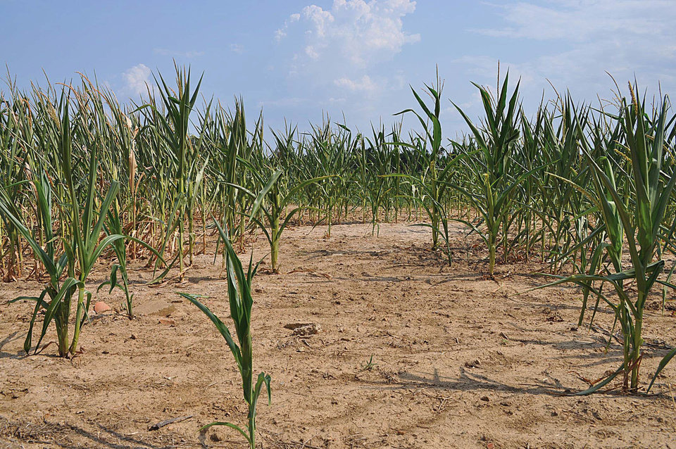 Photo - This Thursday, July 5, 2012 photo shows dry soil in a corn field in western Kentucky. Persisting drought conditions have endangered corn fields in western Kentucky. (AP Photo/The Paducah Sun, Allie Douglass) ORG XMIT: KYPAD206