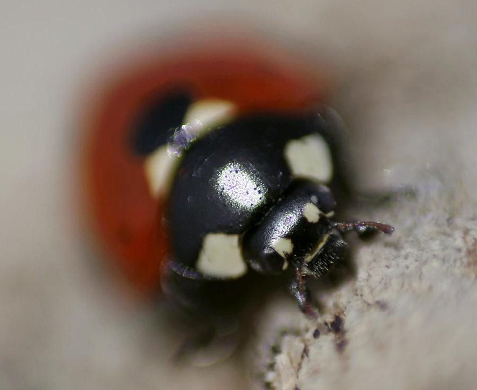 Photo -  A Ladybug crawls across a stone wall on the north end of Lake Hefner in Oklahoma City on Tuesday, April, 26, 2011. Photo by John Clanton, The Oklahoman