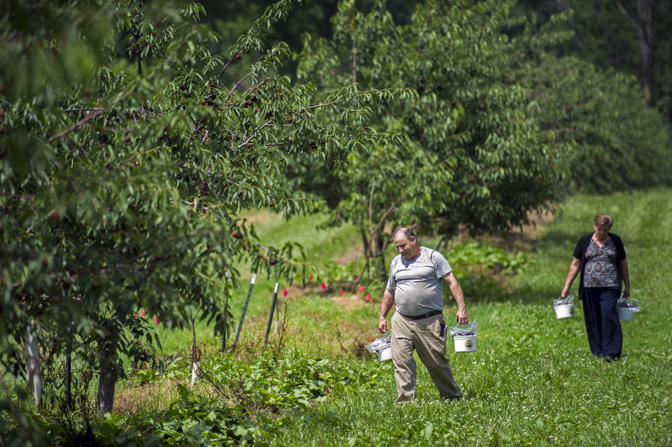Photo - This photo taken June 26, 2014, shows visitors carrying buckets full of sweet red cherry's through the cherry orchard at Orr's Farm Market in Martinsburg, W.Va. With its sweet fruit-flavored liqueurs, a working farm and eccentric cast of characters— including a dancing lemon — Bloomery Plantation Distillery has attracted tourists from every U.S. state and countries as far away as Laos and Iceland. The West Virginia mini-distillery is part of a growing agriculture tourism trend that advocates say can help revive struggling rural economies. Ag tourism refers to working farm enterprises geared to visitors, encompassing farm stands, pumpkin patches, barn dances, zip-line rides, pick-your-own berries, corn mazes and even weddings. (AP Photo/Cliff Owen)