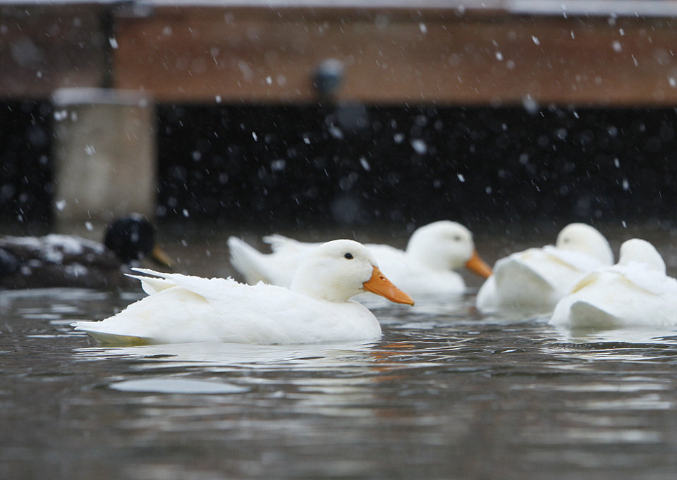 Photo - The snow and cold air doesn't seem to bother these ducks at Hafer Park in Edmond, OK, Friday, Jan. 29, 2010. By Paul Hellstern, The Oklahoman