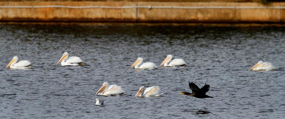 Photo -  A group of white pelicans make a stop at the Oklahoma City Zoo lake during their migration south in Oklahoma City, Thursday December, 8,  2011. Oklahoman Photo by Steve Gooch