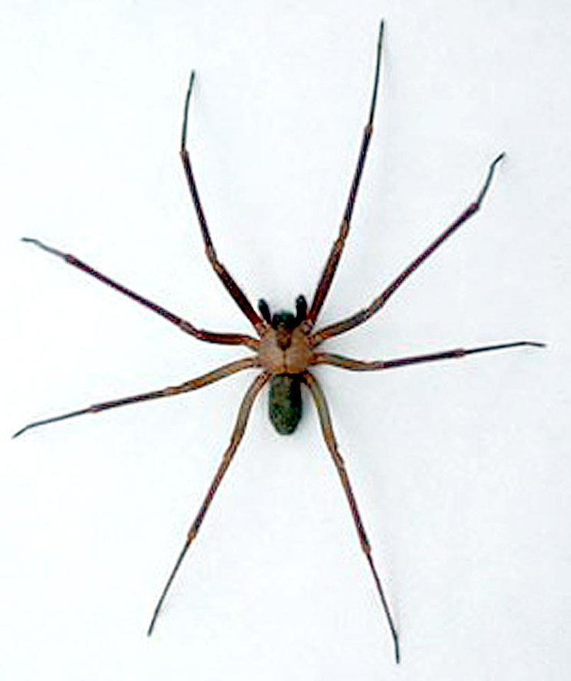 Photo -  A brown recluse spider.