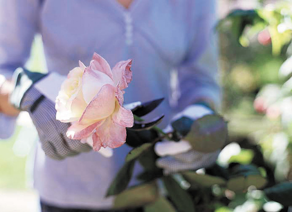 Photo - GARDEN / GARDENING: Woman cutting rose with secateurs, close up