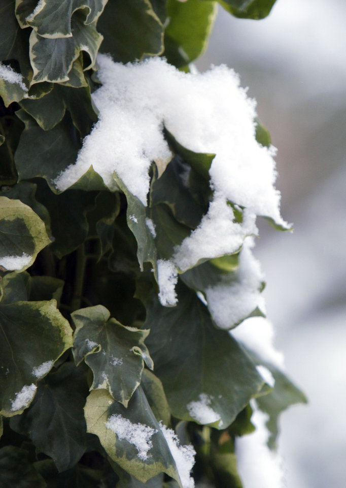 Snow clings to English ivy in Edmond, OK, Friday, December 6, 2013,  Photo by Paul Hellstern, The Oklahoman