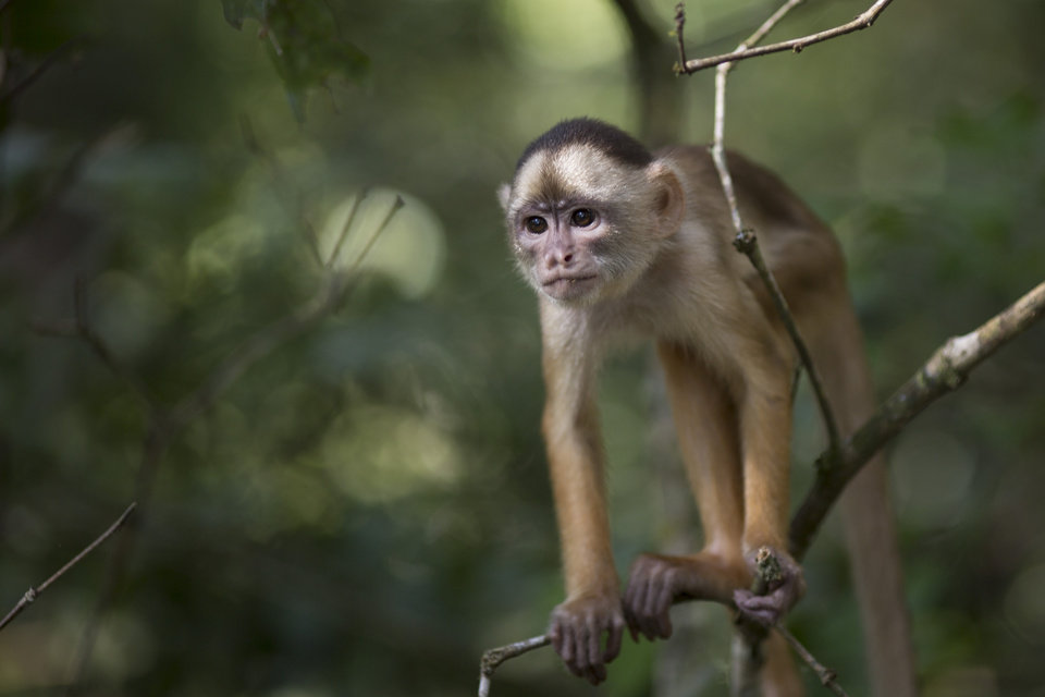 """Photo - In this May 20, 2014 photo, a small monkey stands in a tree in the Lago do Janauari, or Solimoes River, near Manaus, Brazil. Star animal attractions in the area include a heart-melting array of monkeys, flesh-eating piranhas, and the """"boto,"""" a pink fresh water dolphin that's trained to swim with tourists or chopped up by locals into bait for the """"piracatinga,"""" or """"vulture catfish."""" (AP Photo/Felipe Dana)"""