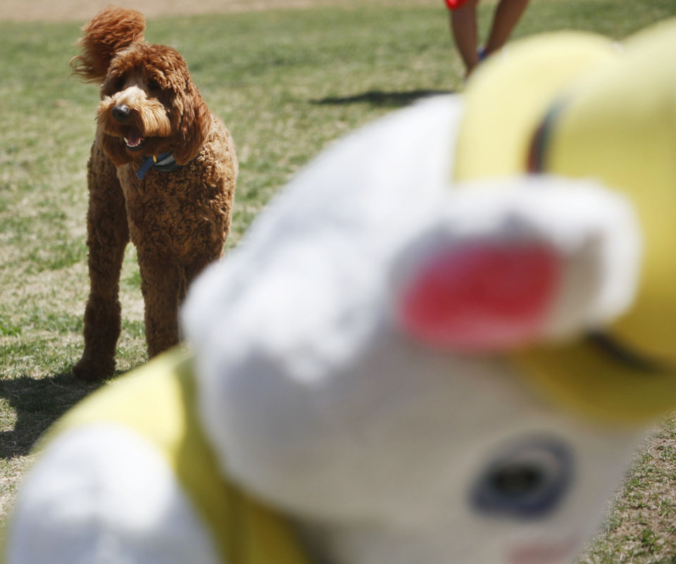 Photo -  Cooper, a Goldendoodle owned by Linda Yingling, of Oklahoma City, barks in fear of the Easter Bunny at the annual Edmond Hound Hunt. Photo by K.T. KING, THE OKLAHOMAN   KT King -