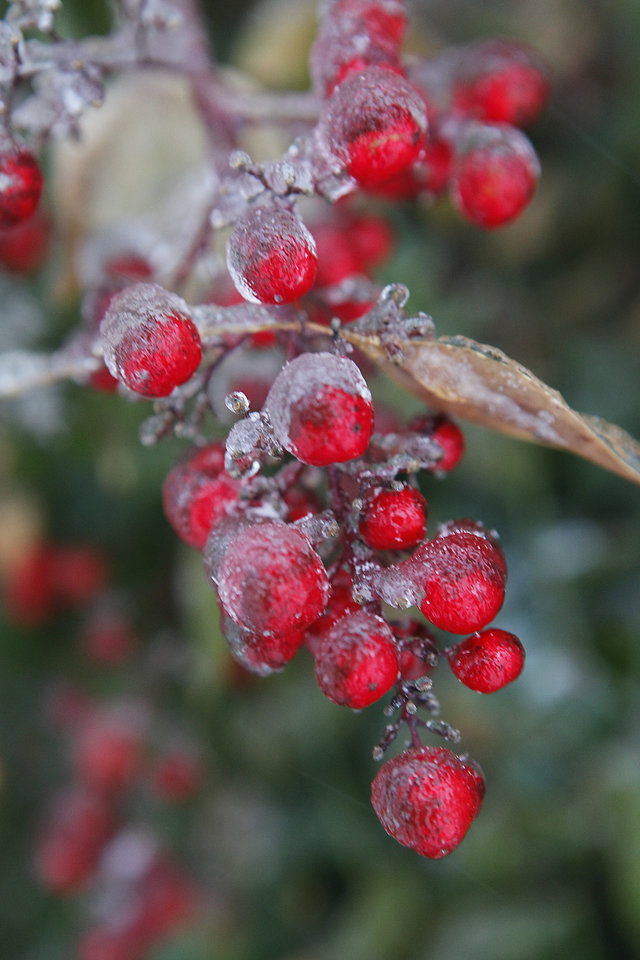 Photo - Ice covered berries on a bush in Edmond, Friday , January 29, 2010. Photo by David McDaniel, The Oklahoman