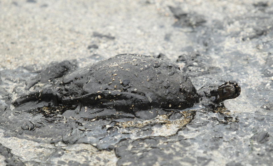 Photo - The body of a duck covered in heavy crude oil lays on the beach along Boddeker Road in Galveston, Texas on Sunday March 23, 2014. The oil is leaking from a disabled barge, that collided with a ship Saturday near the Texas City Dike. (AP Photo/The Daily News, Jennifer Reynolds)